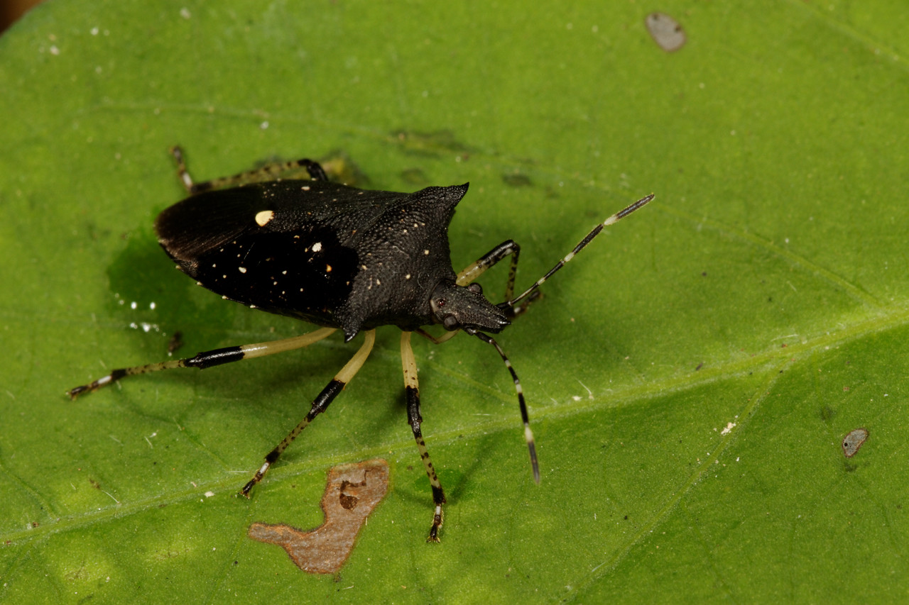 black stink bug, <i>Proxys pinctulatus</i> (Pentatomidae). Spartanburg, South Carolina USA