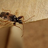 dirt-colored seed bug, <i>Pseudopamera nitidula</i> (Rhyparochromidae). Tucson, Arizona USA