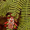 giant mesquite bug 5th instar, <i>Thasus neocalifornicus</i> (Coreidae). Sabino Canyon, Tucson, Pima Co. Arizona USA