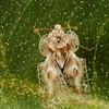 lace bug (Tingidae). Tucson, Pima Co., Arizona USA