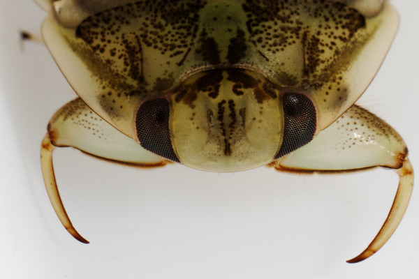 creeping water bug, Ambrysus sp. (Naucoridae). Tucson, Pima Co., Arizona USA