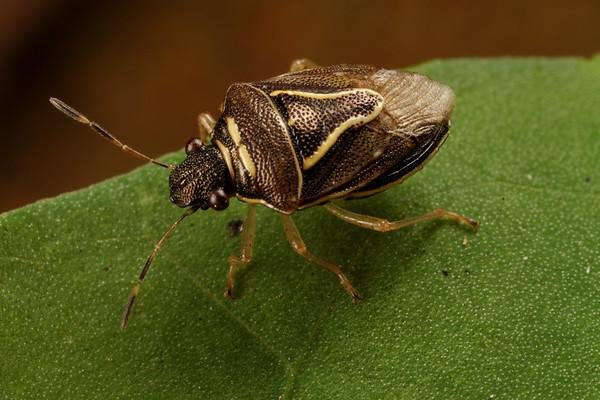 <i>Mormidea lugens</i> (Pentatomidae). Spartanburg, South Carolina USA