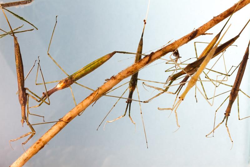 water scorpions, Ranatra quadridentata (Nepidae). Mendoza Canyon, King Anvil Ranch, Pima Co., Arizona USA