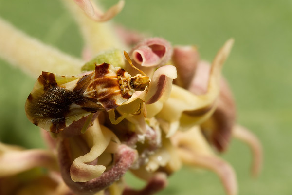 jagged ambush bug, Phymata sp. (Reduviidae, S.F. Phymatinae) on milkweed. Perry, Box Elder Co., Utah USA