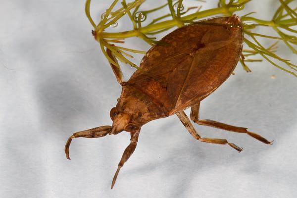 giant waterbug, Belostoma flumineum (Belostomatidae). King Anvil Ranch, Pima Co. Arizona USA
