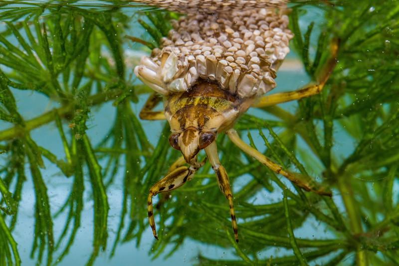 male giant waterbug with hatched and unhatched eggs, Belostoma flumineum (Belostamatidae). Tucson, Pima Co., Arizona USA
