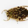 creeping water bug, <i>Ambrysus</i> sp. (Naucoridae). Tucson, Pima Co., Arizona USA