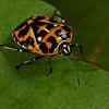 harlequin bug, <i>Murgantia histrionica</i> (Pentatomidae). Spartanburg, South Carolina USA
