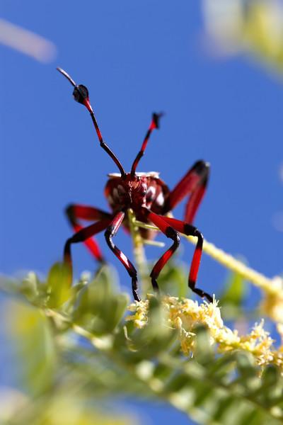 giant mesquite bug 5th instar, Thasus neocalifornicus (Coreidae). Sabino Canyon, Tucson, Pima Co. Arizona USA