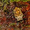 weevil (Curculionidae). unnamed trail, Shiripuno, Orellana Ecuador