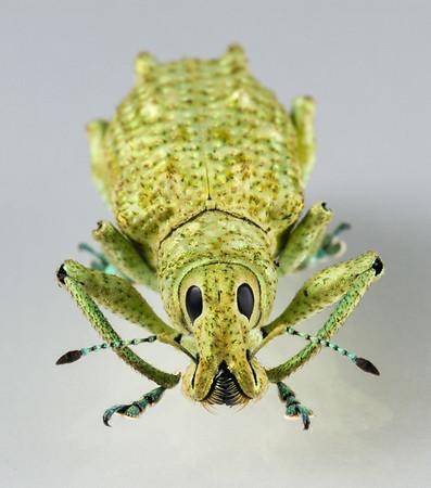 female weevil (Curculionidae). Bates trail, Shiripuno, Orellana Ecuador