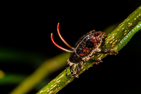 entomophagus fungus on weevil. Bigal River Biological Reserve, Orellana Ecuador
