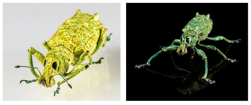 female (left) & male (right) weevils(Curculionidae). Bates trail, Shiripuno, Orellana Ecuador
