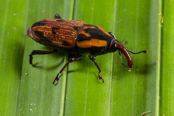 weevil (Curculionidae). EO Wilson trail, Shiripuno, Orellana Ecuador