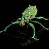 male weevil (Curculionidae). Bates trail, Shiripuno, Orellana Ecuador