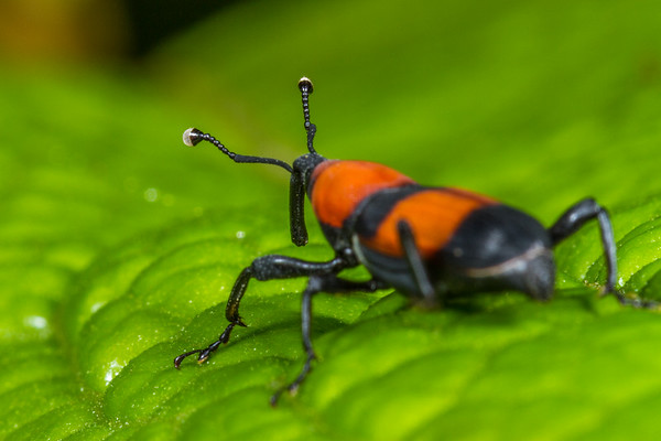 weevil antennae (Curculionidae). Mindo, Pichincha Ecuador
