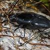 weevil (Curculionidae). Jatun Sacha Estacion Biologica, Napo Ecuador