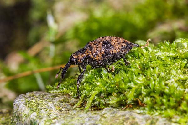 weevil (Curculionidae). Cosango, Napo Ecuador