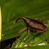 weevil (Curculionidae). Gareno Amazon, Napo Ecuador