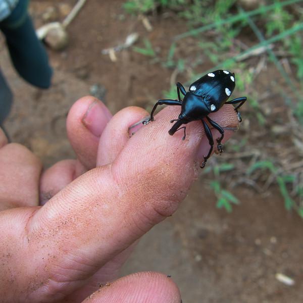 weevil (Curculionidae). Bigal River Biological Reserve, Orellana Ecuador