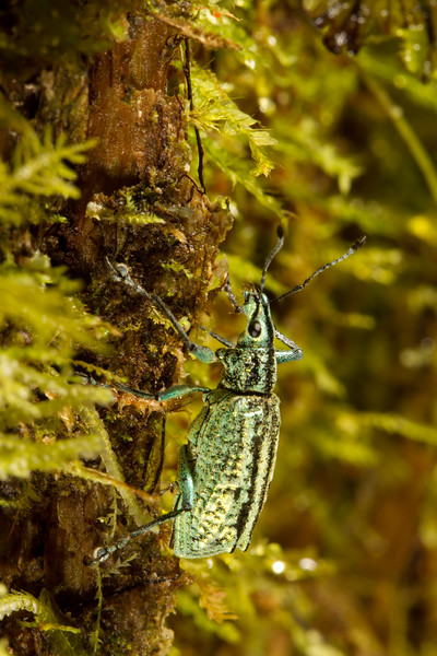 weevil (Curculionidae). Yanayacu San Isidro Stream Trail, Cosanga, Napo Ecuador