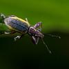 weevil (Curculionidae). Reserva Geobotanica Pululahua, Pichincha Ecuador