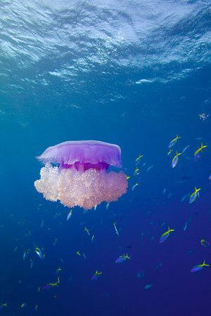 Crown jellyfish, Netrostoma setouchina, Shark Reef, Beqa Passage, Fiji, South Pacific Ocean