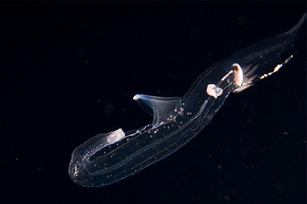 Pterotrachea hippocampus, a pelagic heteropod, Open ocean, Hawaii