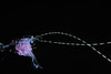 unidentified shrimp hitches a ride on purple jellyfish, Pelagia noctiluca, open ocean at night, Hawaii ( Central Pacific Ocean )
