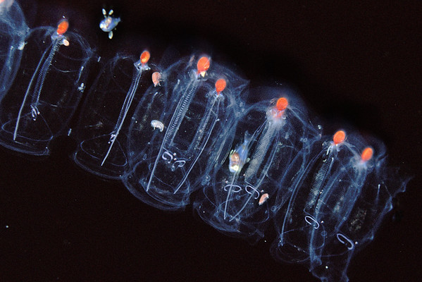 unidentified larval fish and amphipods living symbiotically in salp chain, open ocean at night, Hawaii ( Central Pacific )