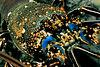 tufted spiny lobster or ula (H), Panulirus penicillatus, Kona, Hawaii ( Central Pacific Ocean )