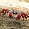 Sally Lightfoot Crab, <i>Grapsus grapsus</i> (Grapsidae). Isla Bartolome, Galapagos Islands Ecuador