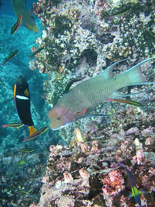 Mexican Hogfish Bodianus diplotaenia, King Angelfish Holacanthus passer, Cortez Rainbow Wrasse Thalassoma lucasanum. Champion Islet, Isla Floreana, Galapagos Islands Ecuador