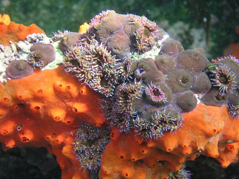 anemone. Isla Bartolome, Galapagos Islands Ecuador