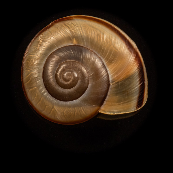 Sonoran talus snail, Sonorella magdalenensis (C. Gastropoda, F. Helminthoglyptidae). Cat Mountain, Tucson Mountains, Tucson, Arizona USA