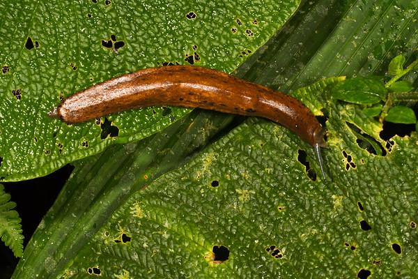 leatherleaf slug (Veronicellidae). Yanayacu San Isidro Stream Trail, Cosanga, Napo Ecuador