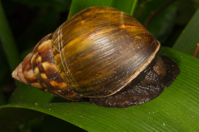 snail (Gastropoda). Mindo Bonito, Mindo, Pichincha Ecuador