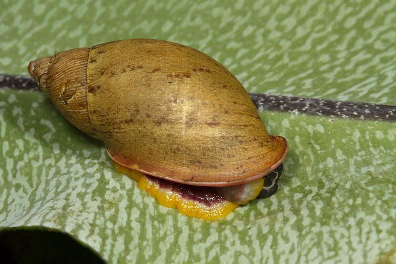 snail (Gastropoda). Yanayacu, Cosanga, Napo Ecuador