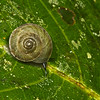 snail (Gastropoda). Gareno Amazon, Napo Ecuador