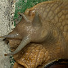 giant Amazon land snail (Gastropoda). Yanayacu, Cosanga, Napo Ecuador