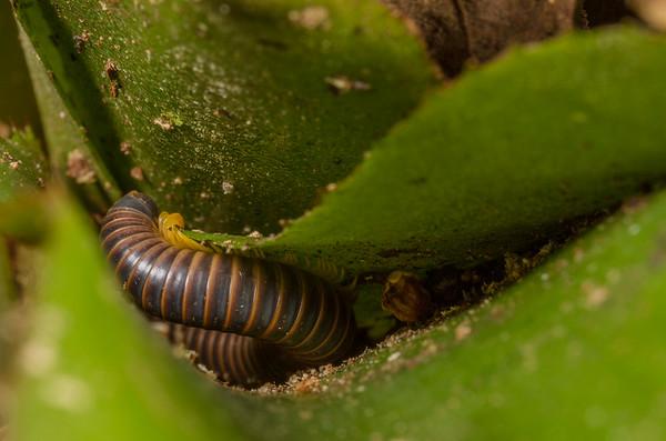millipede (Diplopoda). EO Wilson trail, Shiripuno, Orellana Ecuador