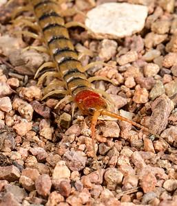 centipede, Scolopendra sp. (Scolopendridae). Epupa, Kunene Namibia