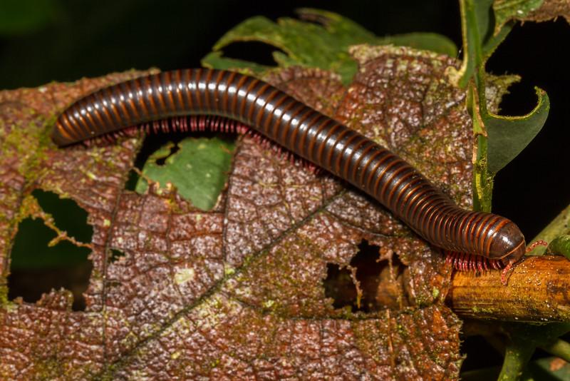 millipede (Diplopoda). Gareno Amazon, Napo Ecuador