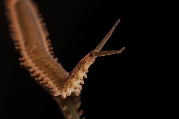 velvet worm, Peripatus sp. (Peripatidae, Onychophora). Bates trail, Shiripuno, Orellana Ecuador