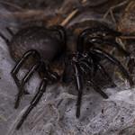Porrhothele antipodiana, Black Tunnelweb Spider