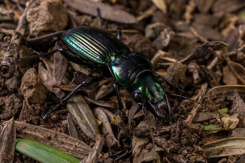 Megadromus antarcticus, Alexander Beetle