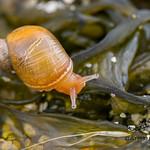 Succinea archeyi, Dune Snail