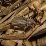Anagotus lewisi, Tussock Weevil