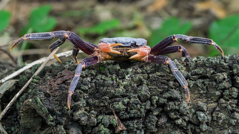 Long-legged Land Crab, Discoplax longipes. Niue