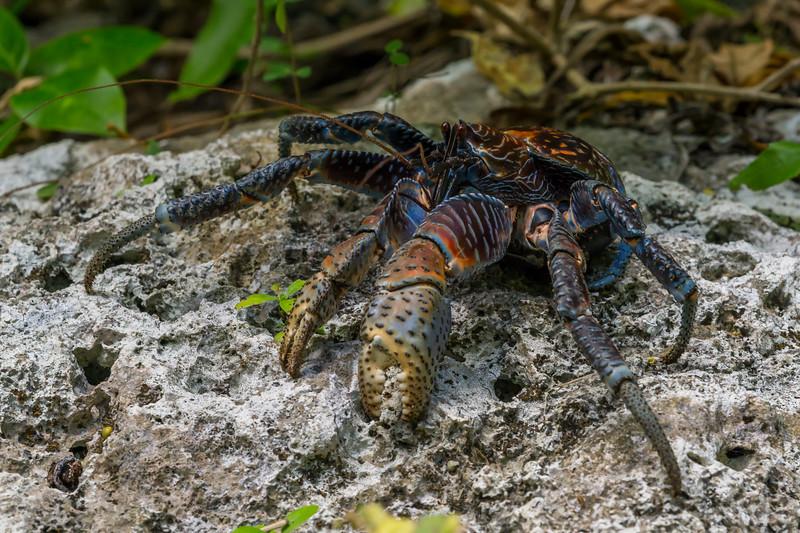 Coconut Crab or Uga, Birgus latro. Niue